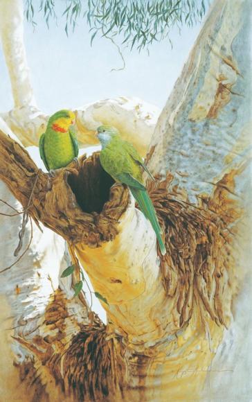 Superb Parrots by Krystii Melaine