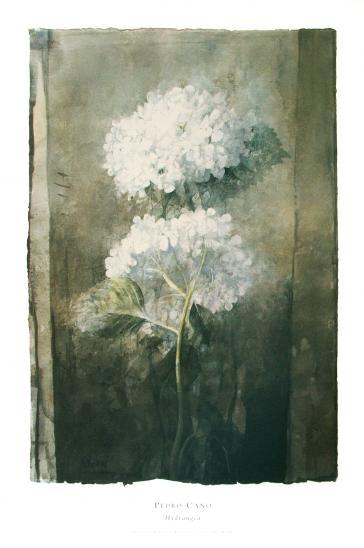 Hydrangea by Pedro Cano