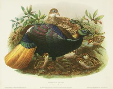 Lophophorus Impeyanus (Himalayan Impeyans) by H.S.Crocker Company