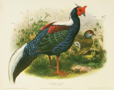 Euplocomus Swinhoei (Swinhoe's Pheasant) by H.S.Crocker Company