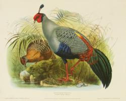 Euplocomus Prelatus (Siamese Crested Fireback) by H.S.Crocker Company